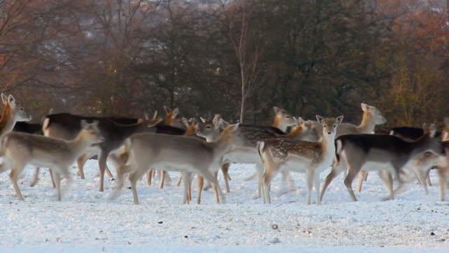 Deer manada de correr en la nieve - vídeo