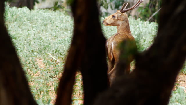 ağacın arkasında doğada geyik - benekli geyik stok videoları ve detay görüntü çekimi