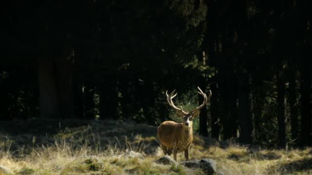 帕內韋喬森林自然保護區鹿 - 野生動物 個影片檔及 b 捲影像