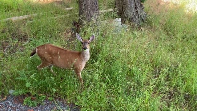 deer in the garden - jelonek filmów i materiałów b-roll