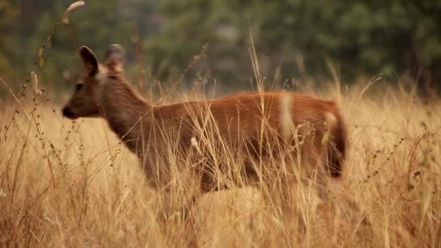 jeleń w panna rezerwat tygrysów, indie. - madhya pradesh filmów i materiałów b-roll