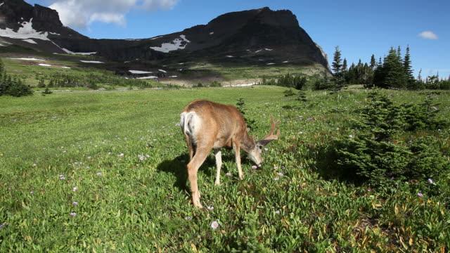 jeleń w naturze - poroże filmów i materiałów b-roll