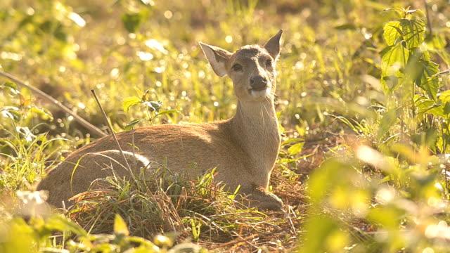 deer is siting alone - single pampas grass bildbanksvideor och videomaterial från bakom kulisserna