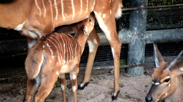 Deer mother take care and feeding her baby video