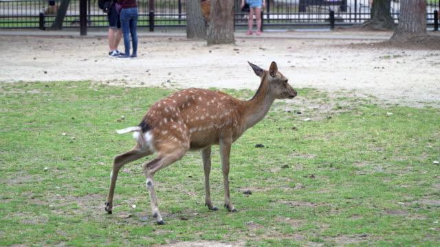 çimenlerin üzerinde peeing geyik - benekli geyik stok videoları ve detay görüntü çekimi