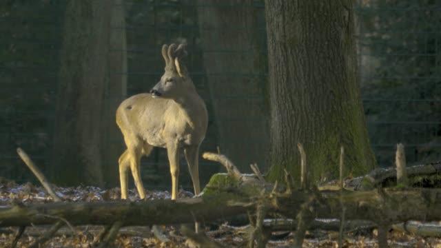 deer standing head turned left, chewing video