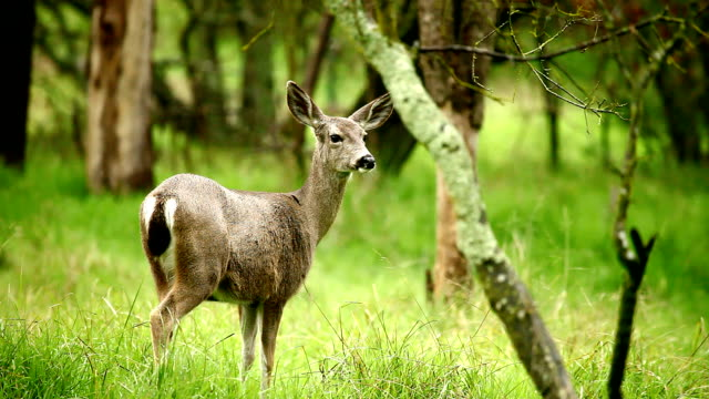deer - forest stock videos and b-roll footage