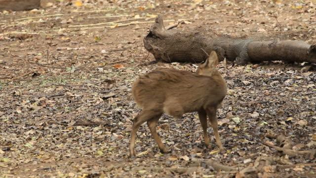 deer - morrhår bildbanksvideor och videomaterial från bakom kulisserna