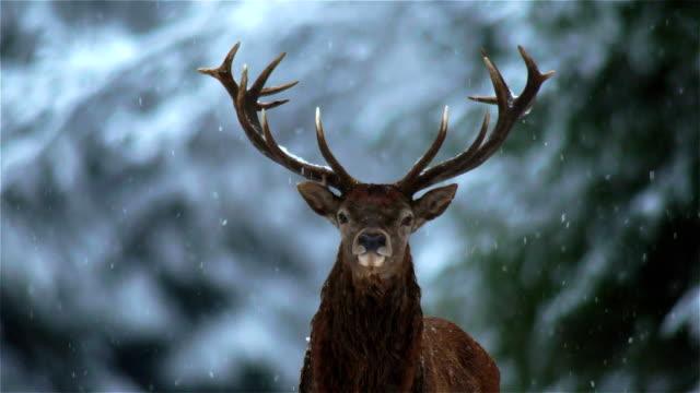 deer - jeleniowate filmów i materiałów b-roll