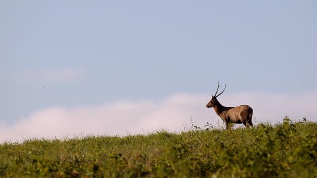 deer walk alone - single pampas grass bildbanksvideor och videomaterial från bakom kulisserna