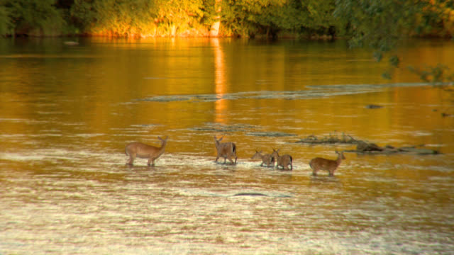 Deer walking in river video