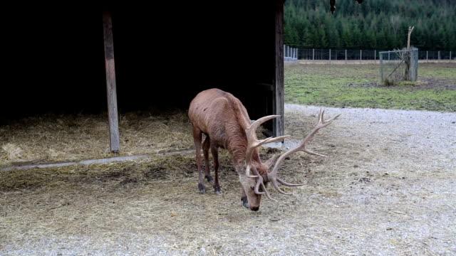 Deer with big horns video