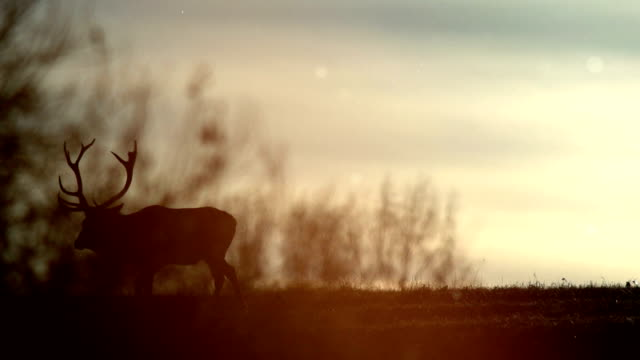 Deers and sunset video