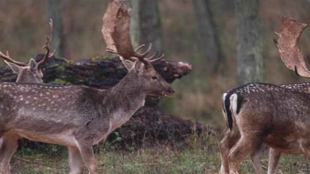 jelenie w jesiennym lesie - poroże filmów i materiałów b-roll