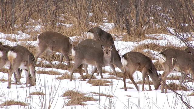 deers in kushiro wetlands,hokkaido,japan - hokkaido bildbanksvideor och videomaterial från bakom kulisserna