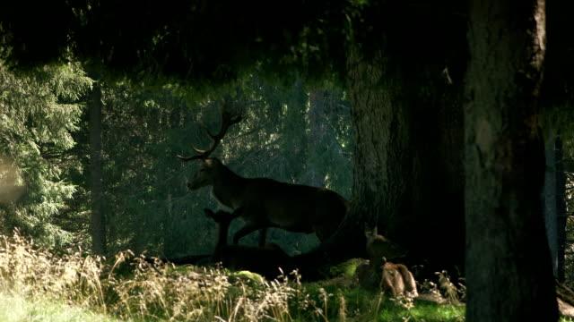 deers in the forest - jeleniowate filmów i materiałów b-roll