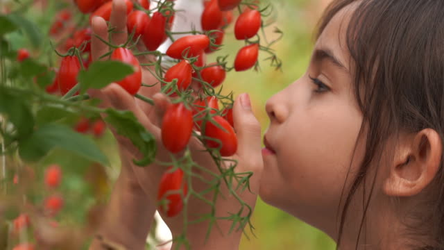 De-focused for dreamllike style ,Young girl smelling fresh tomatoes in oganic farm , GMO food , biofood , Alternative ifestyle concept - vídeo