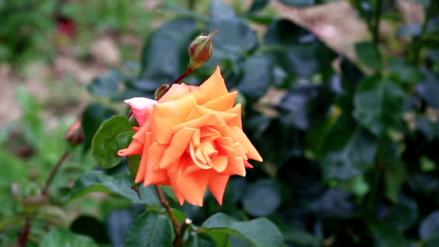 Delicate orange rose video