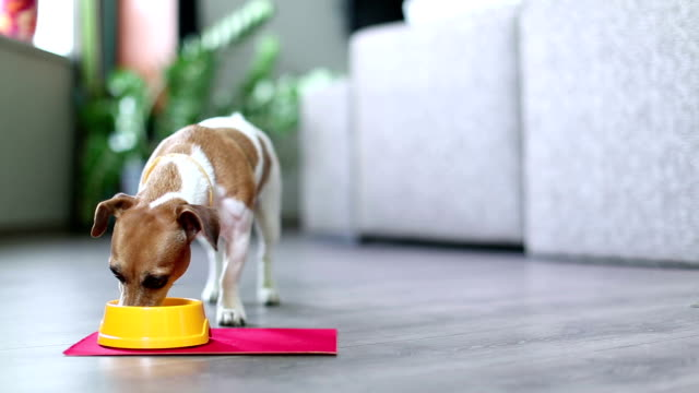 stockvideo's en b-roll-footage met delicious lunch time to eat for jack russell terrier - lichaamsbewustzijn