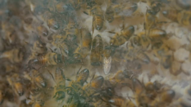 demonstration of honey bees in glass hive - apicoltura video stock e b–roll