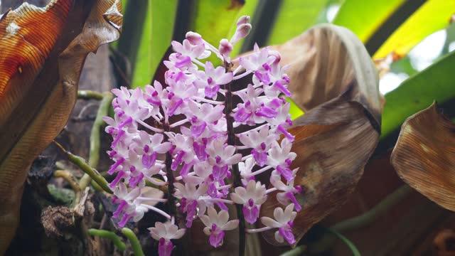 Dendrobium secundum (Blume) Lindl orchid