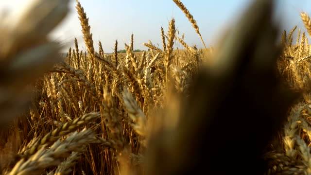 dense wheat field. wheat is ripe. it's time gather the harvest bread. - rack focus video stock e b–roll