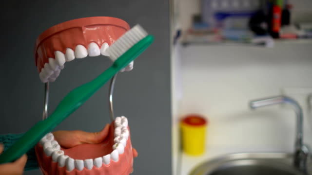 Dentist showing teeth brushing with toothbrush on artificial model of jaw mouth