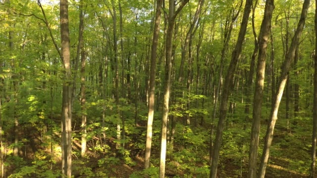 Descending aerial sequence of forest in early fall with sun piercing thru