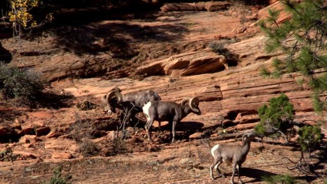 Desert Bighorn Herd in Rut video