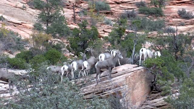 Desert Bighorn Sheep in Rut video