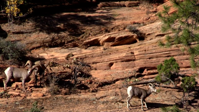 Desert Bighorn Sheep in the Fall rut video