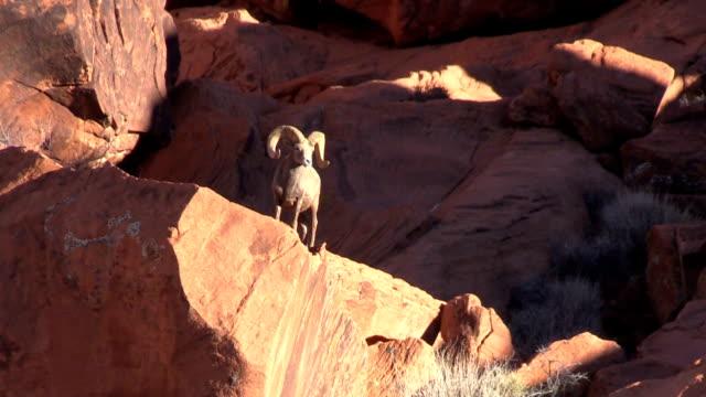 Desert Bighorn Sheep Ram video