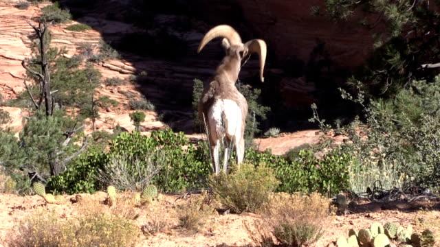 Desert Bighorn Sheep Rams in Rut video