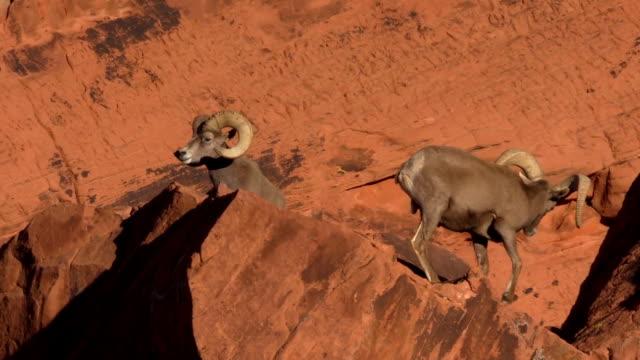 Desert Bighorn Sheep Rams video