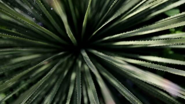 cactus del desierto - vídeo