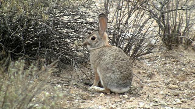 desert cottontail rabbit munching on plant - tavşan hayvan stok videoları ve detay görüntü çekimi