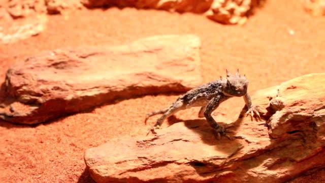 desert lizard video