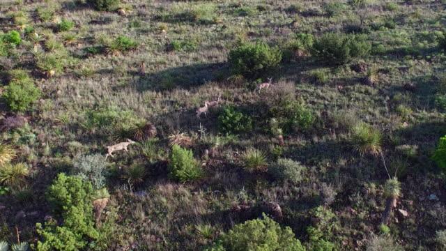 vídeos de stock, filmes e b-roll de veado-mula no oeste do texas do deserto - américa do norte