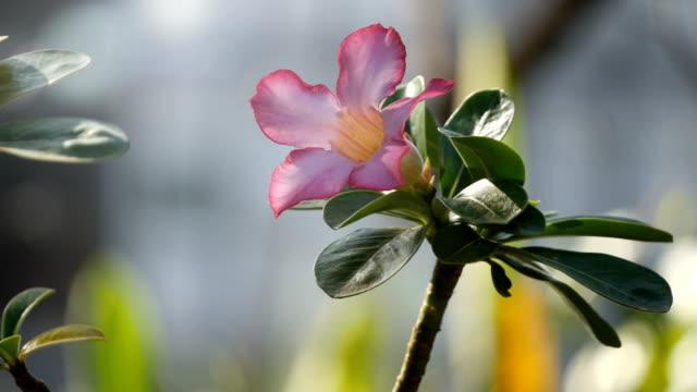 Desert Rose çiçek video