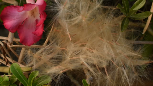 desert rose tropical flower spores flowing from wind blow