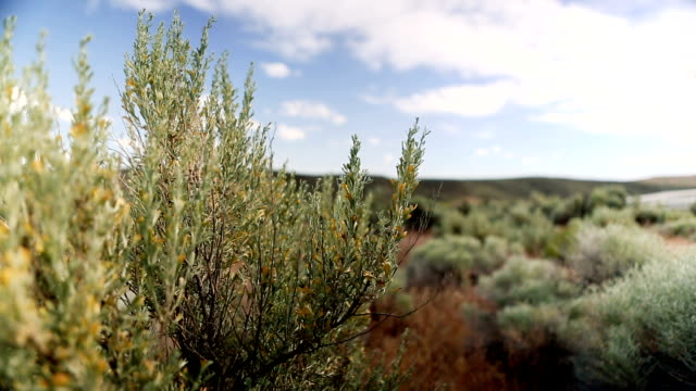 Desert Sagebrush up close video