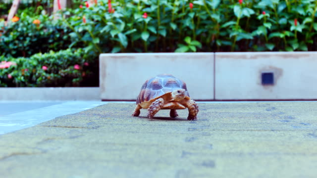 Desert Tortoise in city Young of African Spurred Tortoise walking in city. senegal stock videos & royalty-free footage