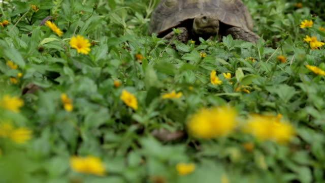Cágado do Deserto em flores - vídeo