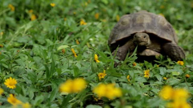 Desert Tortoise Desert Tortoise walking in Flowers turtle stock videos & royalty-free footage