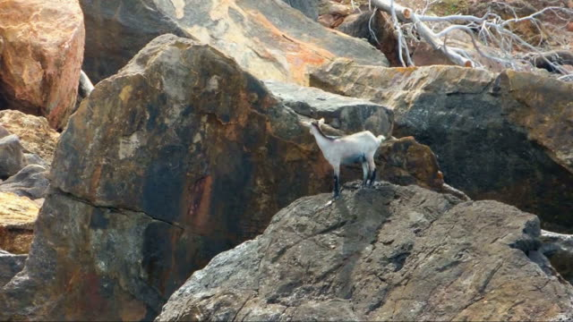 Desperate Wild Goat Perched On A Rock In The Sea video