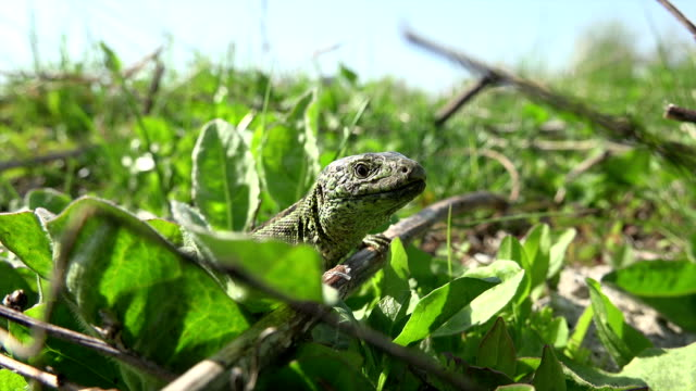 Detail frame with a lizard who hides in grass on a sunny day, real time,4k, close-up. video