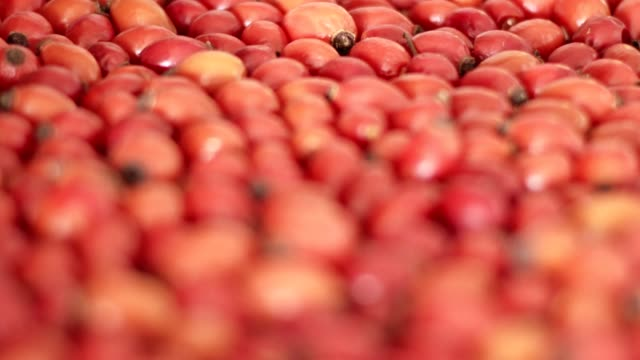 vídeos de stock e filmes b-roll de detail macro view of dog rose hips (latin name fructus cynosbati) prepared for drying. dried rose hips are important source of vitamins in alternative medicine. typical fall berry fruit - fruto da roseira