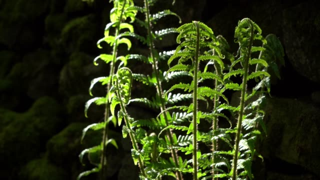 Detail of a back light fern plant in woods in West Yorkshire
