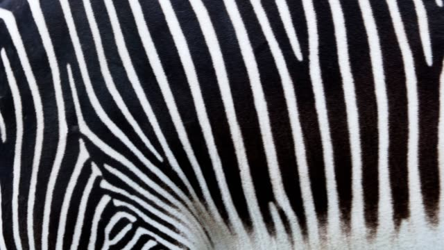 detail of a black and white stripes on a zebra skin - equino video stock e b–roll
