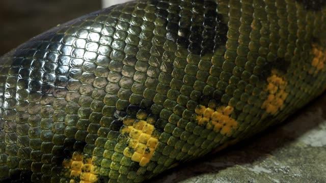 vídeos y material grabado en eventos de stock de detalle de una piel de serpiente (eunectes murinus) de anaconda grande de cuerpo vivo - serpiente